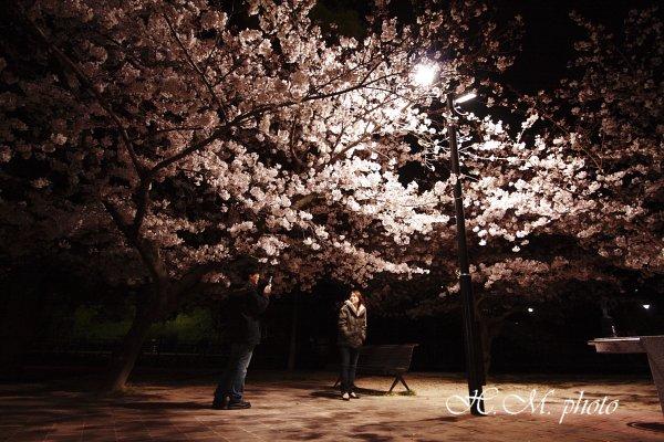2009_原爆公園の夜桜_03.jpg