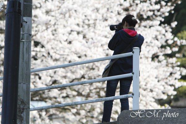 2010_多良見町の桜_02.jpg