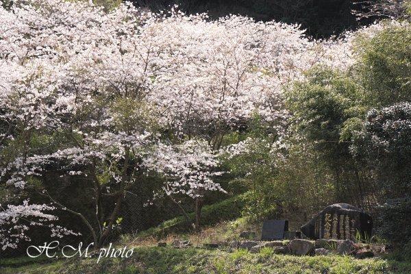 2010_芒塚町の桜_05.jpg