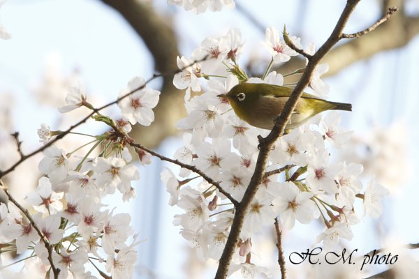 2010_長与町の桜_03.jpg